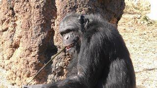 人工アリ塚から蜜を舐める チンパンジー (多摩動物公園) 2019年1月18日