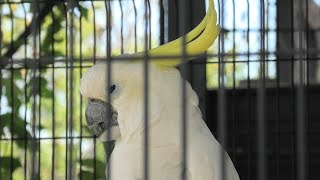 Sulphur-crested Cockatoo (Kyoto City Zoo, Kyoto, Japan) September 1, 2020