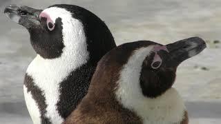 フンボルトペンギンとケープペンギン (志摩マリンランド) 2018年1月2日