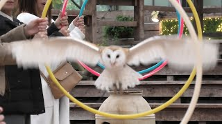 Owl Flying show [3/3] (MATSUE VOGEL PARK, Shimane, Japan) November 29, 2019