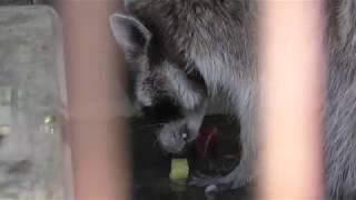 アライグマ の『ハチ』 (平塚市総合公園 ふれあい動物園) 2018年8月26日