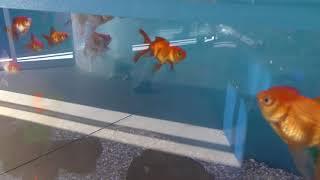 さまざまな金魚たち (志摩マリンランド) 2018年1月2日