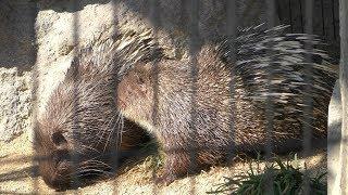 マレーヤマアラシ の『バイオ』と『モミジ』 (福山市立動物園) 2019年2月25日