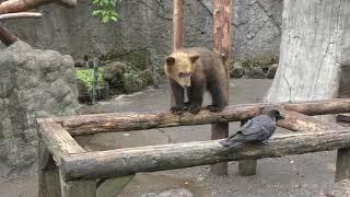 子熊 vs カラス (のぼりべつクマ牧場) 2019年6月17日