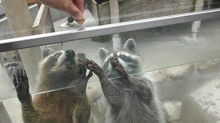 アライグマ に餌やり体験 (到津の森公園) 2019年4月25日