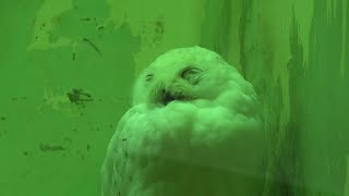 Snowy owl (Kyoto City Zoo, Kyoto, Japan) September 1, 2020
