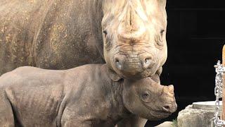Black rhinoceros Parent and child (TOBE ZOOLOGICAL PARK OF EHIME PREF., Ehime, Japan) Dec. 25, 2019