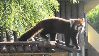 レッサーパンダ の『野花』 (神戸市立王子動物園) 2020年9月28日