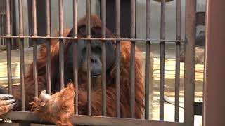 「園内まったりお散歩」類人猿舎の解説 2/2 (愛媛県立とべ動物園) 2018年3月25日