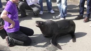 ミナミアフリカオットセイ『ケープ』のハズバンダリートレーニング (東武動物公園) 2018年3月31日