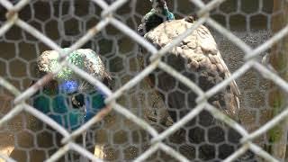 インドクジャク と シロクジャク (福知山市動物園) 2019年3月29日
