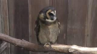 Brown wood owl (Fuji Kachoen Garden Park, Shizuoka, Japan) November 25, 2018
