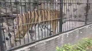 アムールトラ の『ケン』 (周南市徳山動物園) 2018年5月19日