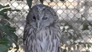 Owl (Ueno Zoological Gardens, Tokyo, Japan) December 17, 2017
