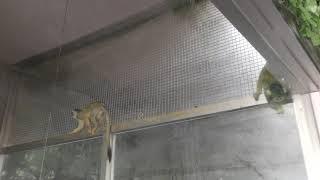 Black-capped Squirrel Monkey (ADVENTURE WORLD, Wakayama, Japan) December 25, 2018