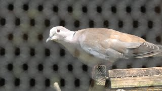 Eurasian Collared Dove (Saitama Children's Zoo, Saitama, Japan) September 15, 2020