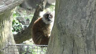 Black lemur & Squirrel Monkey (Izu Shaboten Zoo, Shizuoka, Japan) October 1, 2019