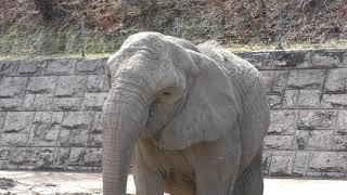 アフリカゾウ の『リリー』と『だいすけ』 (秋田市大森山動物園) 2019年4月11日