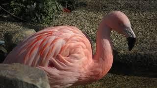 チリーフラミンゴ (福山市立動物園) 2019年2月25日
