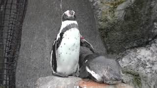 仲良く眠る2羽のフンボルトペンギン (東武動物公園) 2017年10月15日