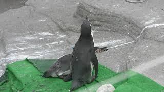 フンボルトペンギン (富山市ファミリーパーク) 2019年8月15日