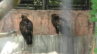 Golden Eagle Japanese (TENNOJI ZOO, Osaka, Japan) June 25, 2021