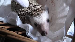 Four-toed hedgehog Experience (Kyushu Natural Animal Park African Safari, Oita, Japan) Dec. 4, 2019