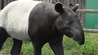 マレーバク の『シンディー』と『コト』 (東武動物公園) 2020年9月18日