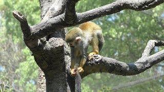 Squirrel Monkey Forest (Nagasaki Biopark, Nagasaki, Japan) April 21, 2019