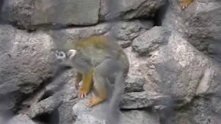 Common Squirrel Monkey (Edogawa Natural Zoo, Tokyo, Japan) October 14, 2017