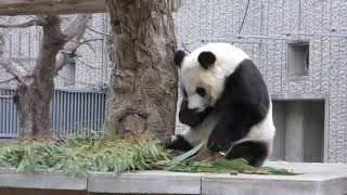 ジャイアントパンダ の『タンタン』 (王子動物園) 2019年1月10日