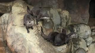 Asian short-clawed otter (TOBE ZOOLOGICAL PARK OF EHIME PREF., Ehime, Japan) December 25, 2019