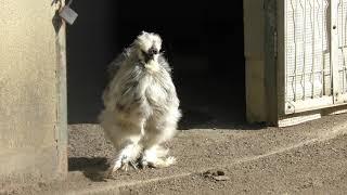 ウコッケイ と シロクジャク (和歌山城公園 動物園) 2018年12月24日