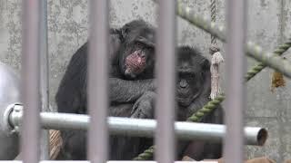チンパンジーの『タダシ』『ミセス』『ミミ』 (茶臼山動物園) 2018年4月15日