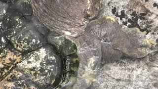ワニガメ (野毛山動物園) 2017年12月16日