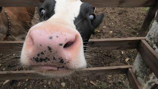 Cattle (NARITA DREAM FARM, Chiba, Japan) September 12, 2020