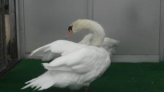 Tundra swan & Mute Swan (Shinkyouji Park, Tottori, Japan) October 11, 2020