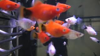 2020年 干支の魚展 (虹の森公園 おさかな館) 2019年12月24日