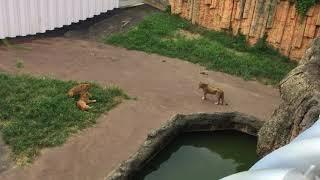 ライオン (多摩動物公園) 2017年8月27日