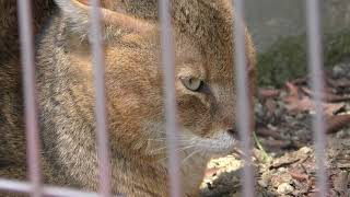 ジャングルキャット (東山動植物園) 2019年4月2日