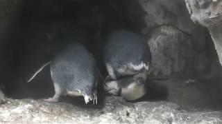 フェアリーペンギン (アドベンチャーワールド) 2020年1月18日