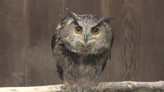 Horned owl (Fuji Kachoen Garden Park, Shizuoka, Japan) November 25, 2018