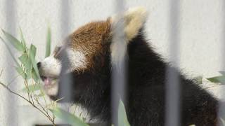レッサーパンダ の『まつば』 (鯖江市西山動物園) 2019年11月1日
