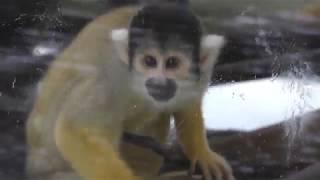 ボリビアリスザル (日立市かみね動物園) 2017年10月21日