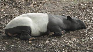 マレーバク の『ユメタ』 (千葉市動物公園) 2020年9月17日