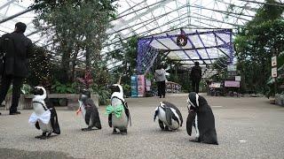 ペンギンのお散歩 (松江フォーゲルパーク) 2019年11月29日