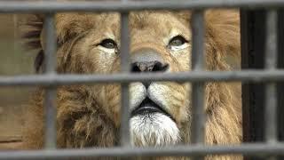 3頭のアフリカライオン (宇都宮動物園) 2018年4月30日