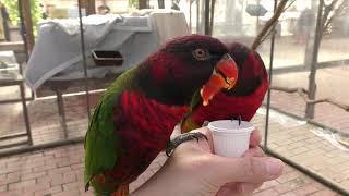 True parrots (Fuji Kachoen Garden Park, Shizuoka, Japan) November 25, 2018