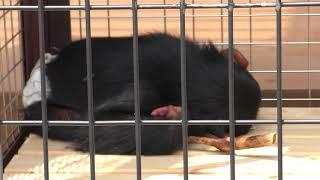 チンパンジー の子ども『げんき』 (日本平動物園) 2018年8月5日