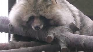Raccoon Dog Hokkaido (Sapporo Maruyama Zoo, Hokkaido, Japan) February 12, 2018